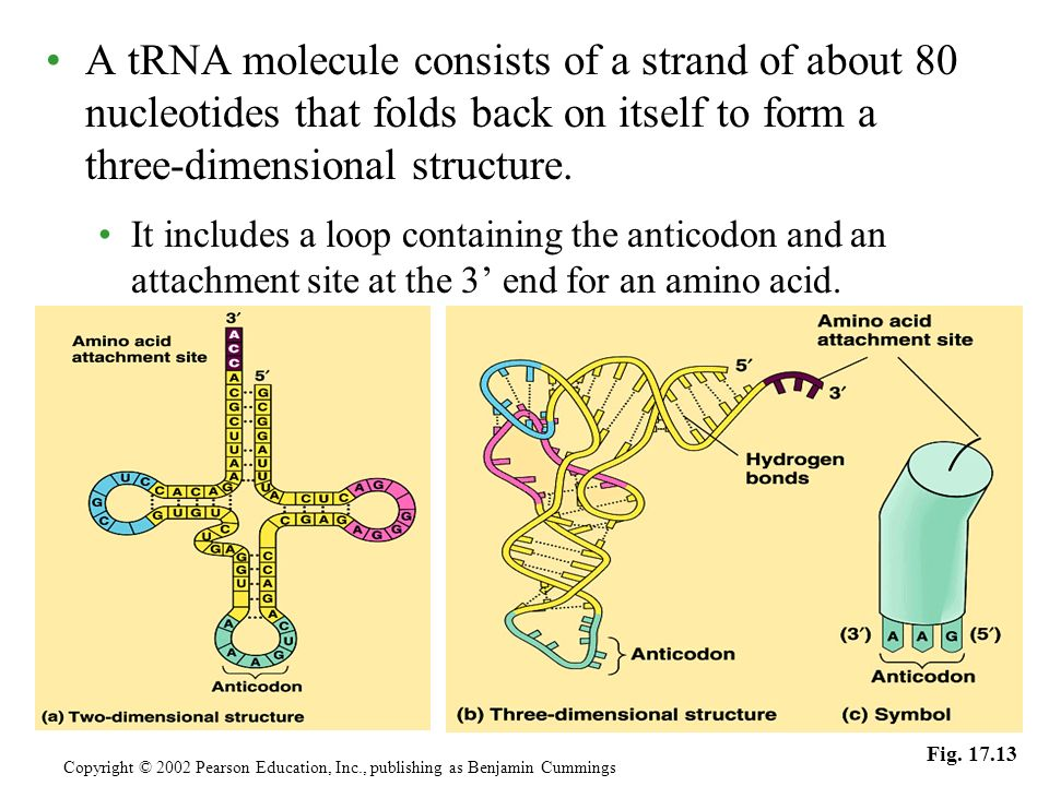 A tRNA molecule consists of a strand of about 80 nucleotides that folds back on itself to form a three-dimensional structure. It includes a loop conta