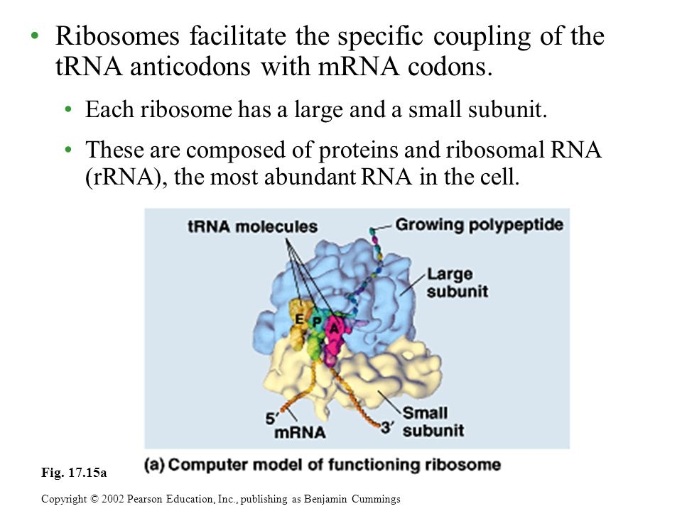 After rRNA genes are transcribed to rRNA in the nucleus, the rRNA and proteins form the subunits in the nucleolus.