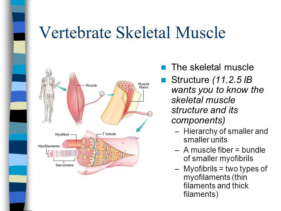 Vertebrate Skeletal Muscle The skeletal muscle Structure (11.2.5 IB wants you to know the skeletal muscle structure and its components) –Hierarchy of