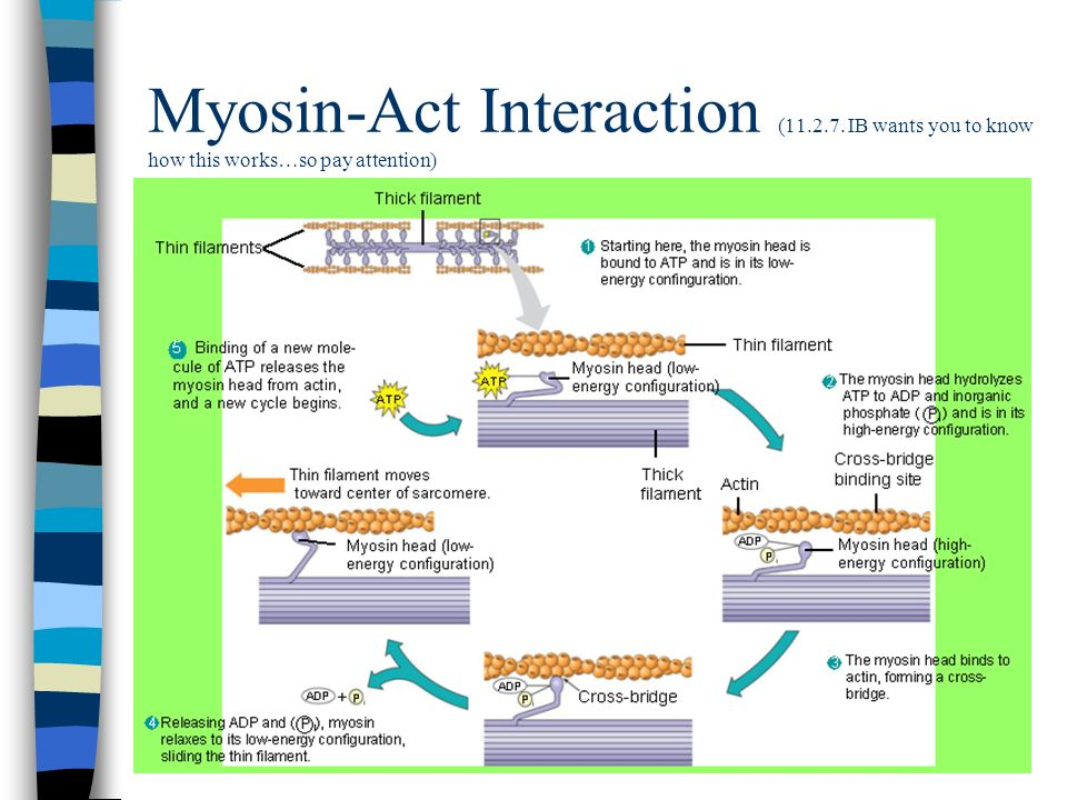 Myosin-Act Interaction (11.2.7. IB wants you to know how this works…so pay attention)