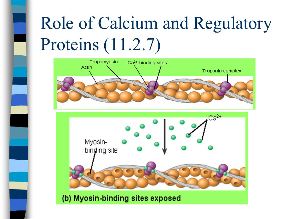 Role of Calcium and Regulatory Proteins (11.2.7)