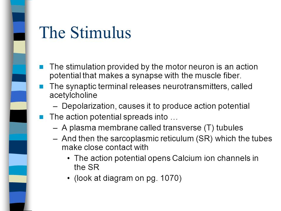 The Stimulus The stimulation provided by the motor neuron is an action potential that makes a synapse with the muscle fiber. The synaptic terminal rel