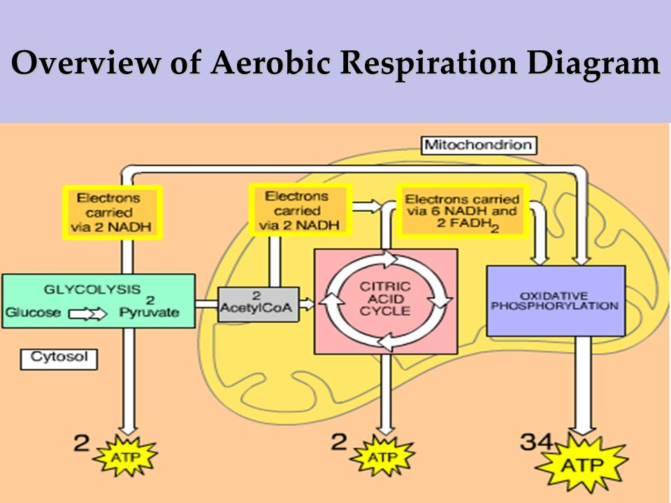 ib biology 3 7 cell respiration relationship between  : aerobic respiration diagram - findchart.co