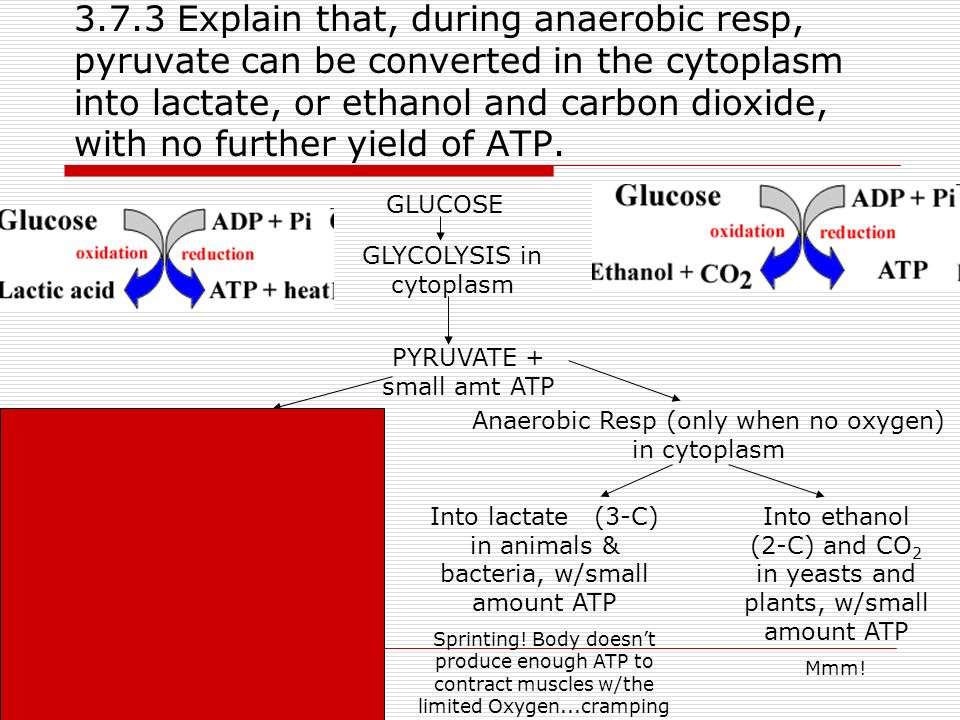 3.7.3 Explain that, during anaerobic resp, pyruvate can be converted in the cytoplasm into lactate, or ethanol and carbon dioxide, with no further yield of ATP.
