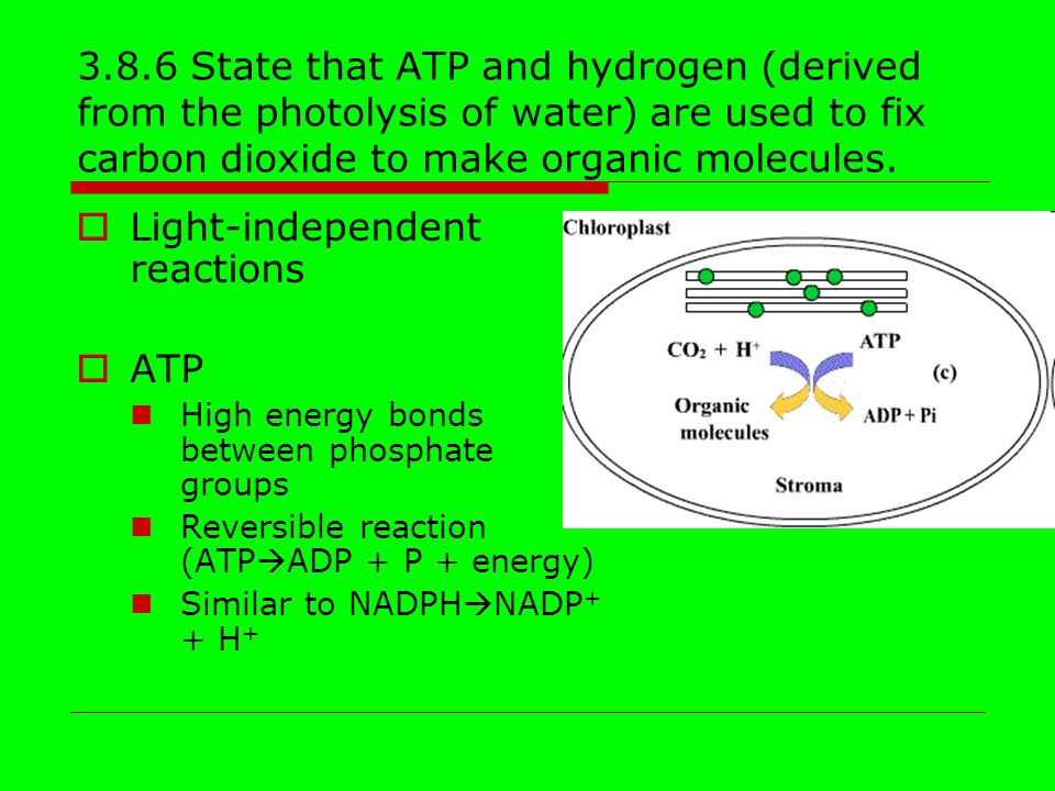 3.8.6 State that ATP and hydrogen (derived from the photolysis of water) are used to fix carbon dioxide to make organic molecules.