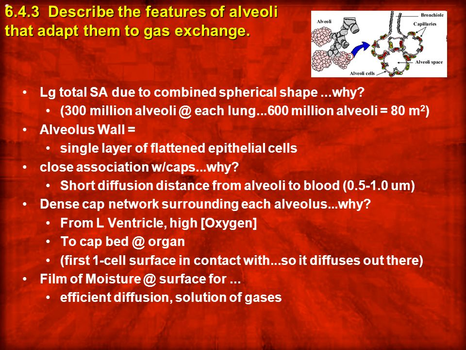 6.4.3 Describe the features of alveoli that adapt them to gas exchange. Lg total SA due to combined spherical shape...why? (300 million alveoli @ each