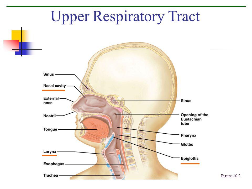 Upper Respiratory Tract Figure 10.2