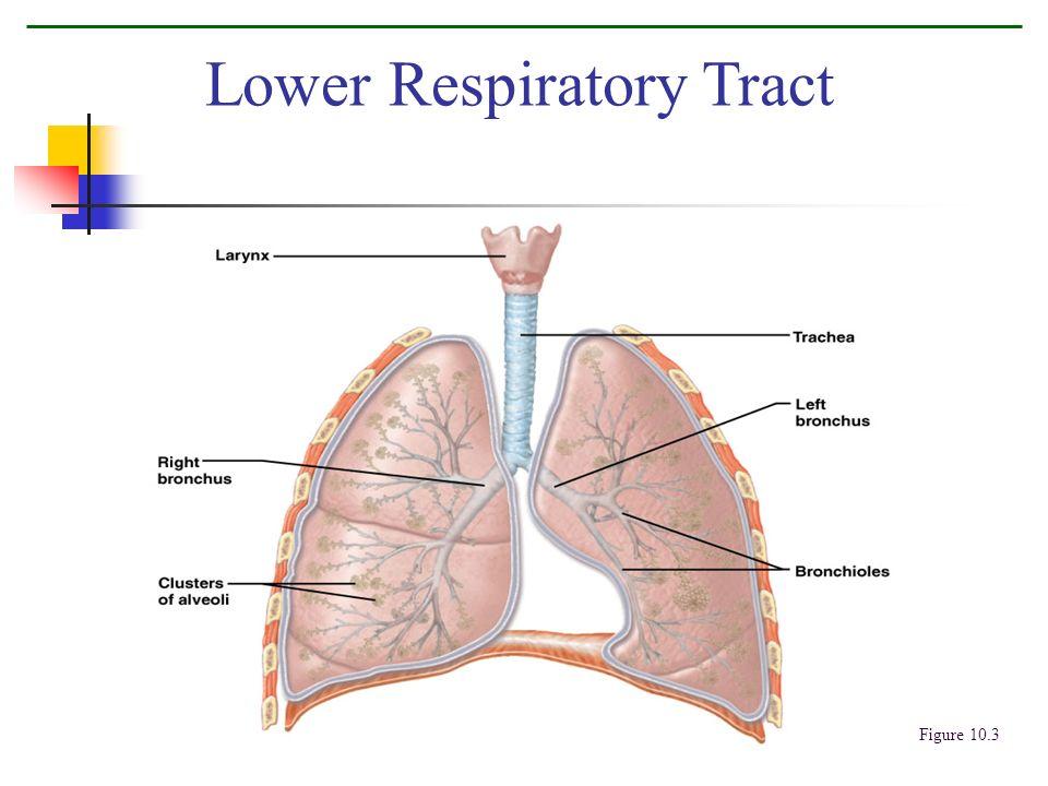 Lower Respiratory Tract Figure 10.3