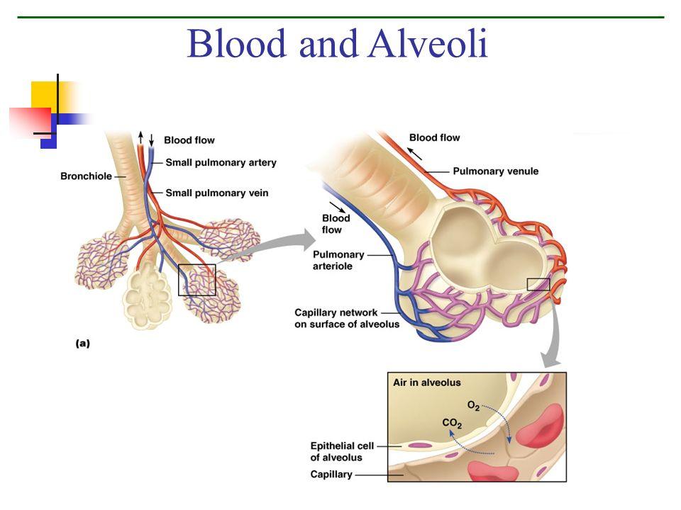 Blood and Alveoli