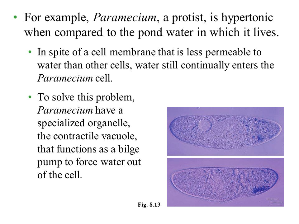 For example, Paramecium, a protist, is hypertonic when compared to the pond water in which it lives. In spite of a cell membrane that is less permeabl