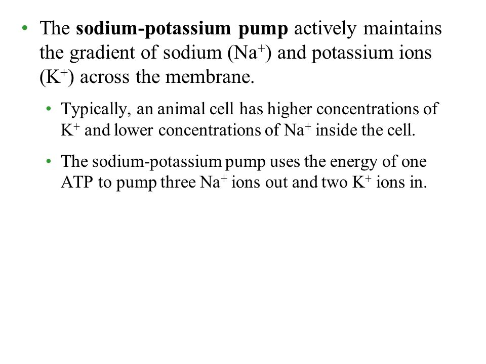 The sodium-potassium pump actively maintains the gradient of sodium (Na + ) and potassium ions (K + ) across the membrane. Typically, an animal cell h