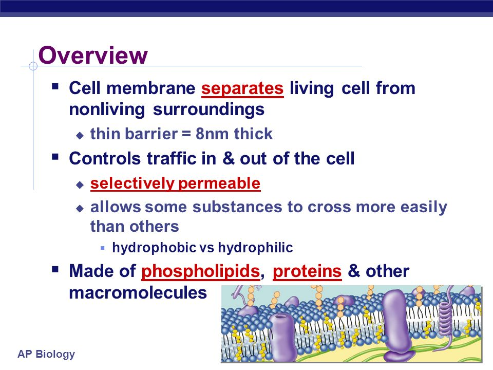 AP Biology Channels through cell membrane Membrane becomes semi-permeable with protein channels specific channels allow specific material across cell membrane inside cell outside cell sugaraa H2OH2O salt NH 3
