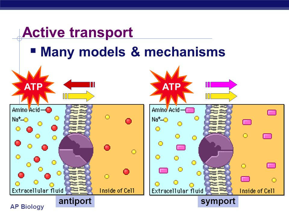 AP Biology Active Transport The Doorman conformational change Cells may need to move molecules against concentration gradient shape change transports