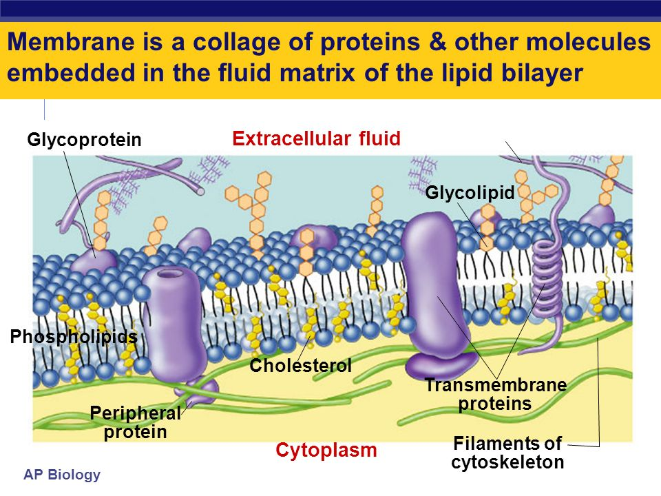 AP Biology More than lipids… In 1972, S.J. Singer & G. Nicolson proposed that membrane proteins are inserted into the phospholipid bilayer Its like a