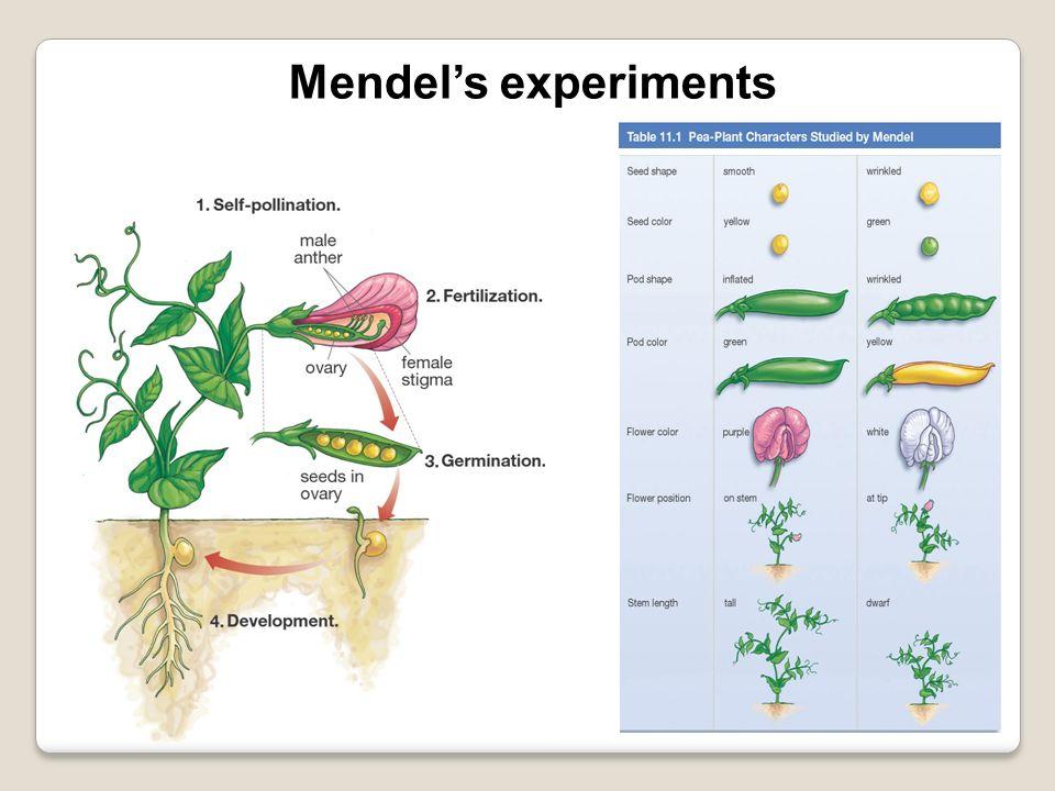Mendels experiments