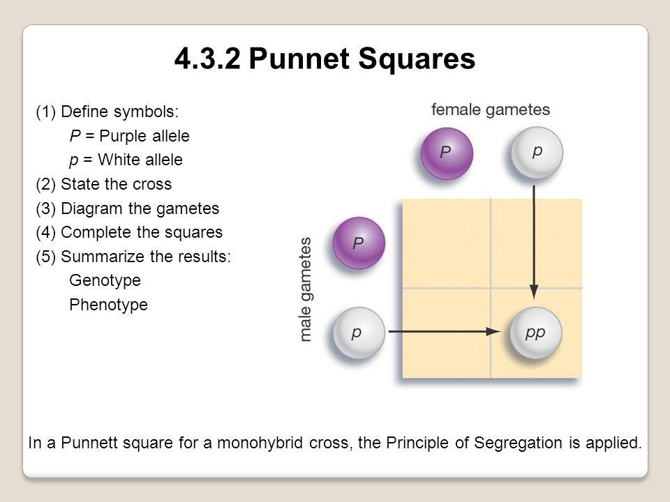 4.3.2 Punnet Squares (1) Define symbols: P = Purple allele p = White allele (2) State the cross (3) Diagram the gametes (4) Complete the squares (5) S