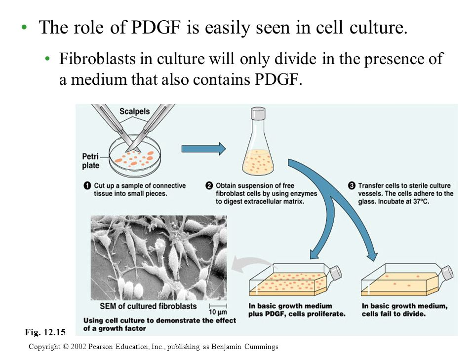 The role of PDGF is easily seen in cell culture. Fibroblasts in culture will only divide in the presence of a medium that also contains PDGF. Copyrigh