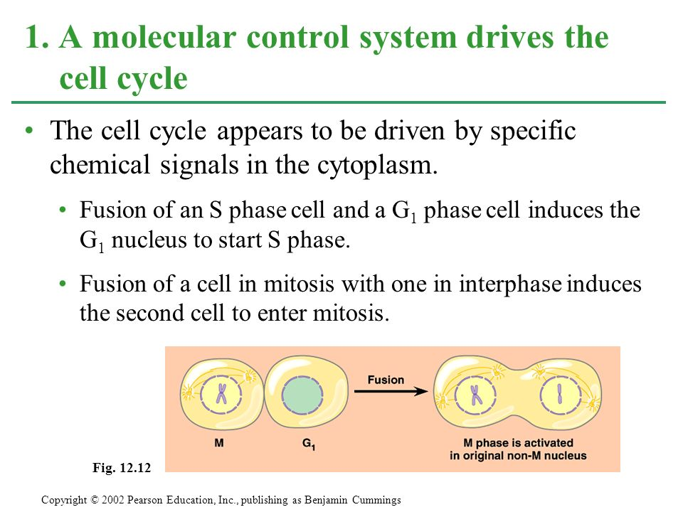 The cell cycle appears to be driven by specific chemical signals in the cytoplasm. Fusion of an S phase cell and a G 1 phase cell induces the G 1 nucl