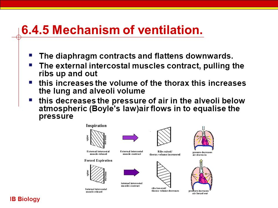 IB Biology 6.4.5 Mechanism of ventilation. The diaphragm contracts and flattens downwards. The external intercostal muscles contract, pulling the ribs