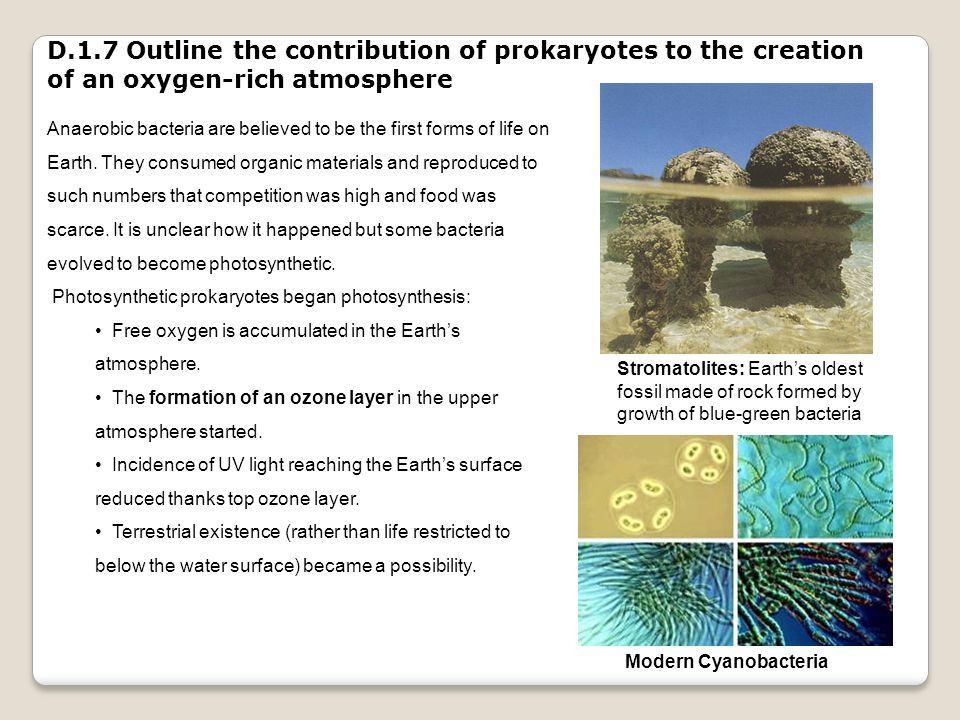D.1.7 Outline the contribution of prokaryotes to the creation of an oxygen-rich atmosphere Anaerobic bacteria are believed to be the first forms of li
