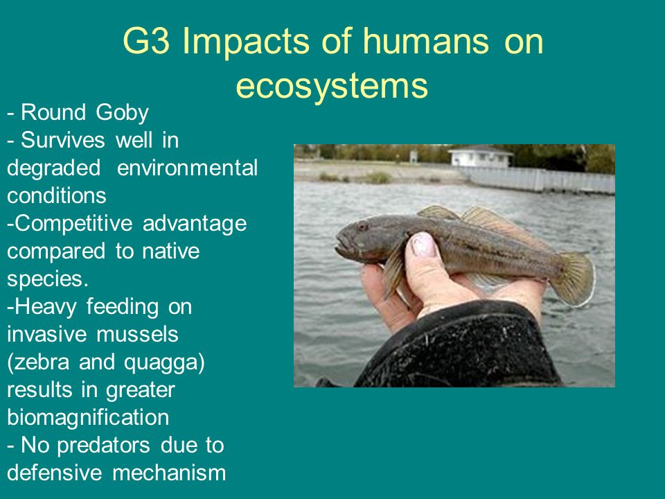 G3 Impacts of humans on ecosystems - Round Goby - Survives well in degraded environmental conditions -Competitive advantage compared to native species
