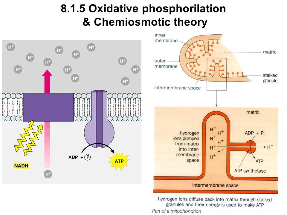 8.1.5 Oxidative phosphorilation & Chemiosmotic theory