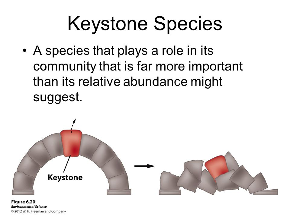 Keystone Species A species that plays a role in its community that is far more important than its relative abundance might suggest.