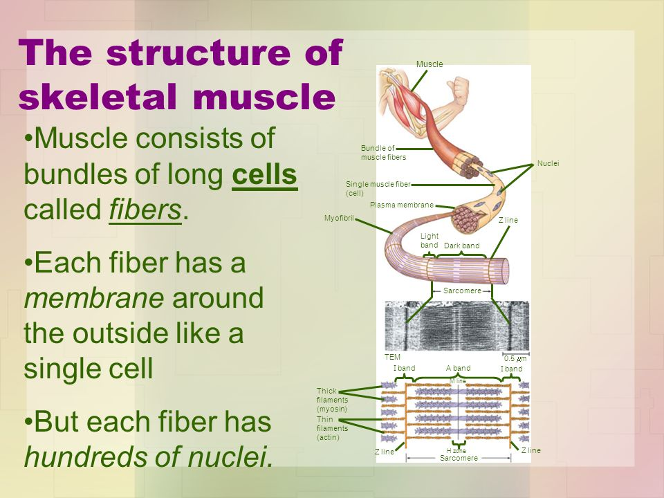 The structure of skeletal muscle Muscle Bundle of muscle fibers Single muscle fiber (cell) Plasma membrane Myofibril Light band Dark band Z line Sarco