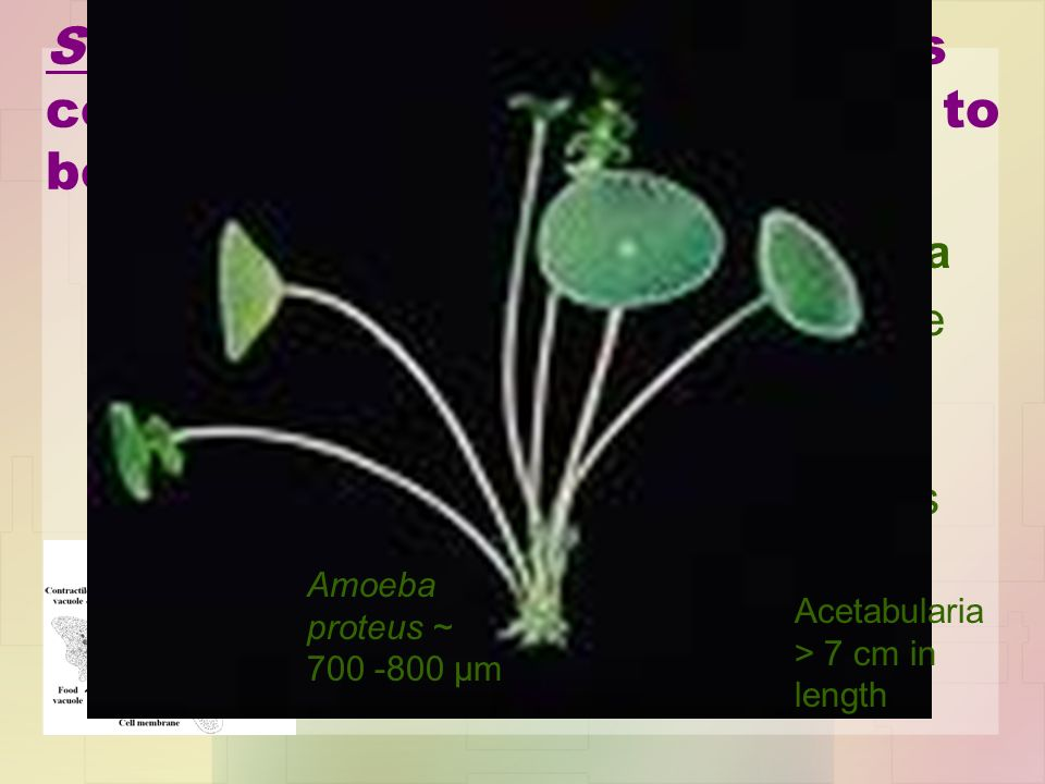 SOME (but not most!) biologists consider unicellular organisms to be acellular. Examples: Amoeba and Acetabularia –instead of separate cells for separ