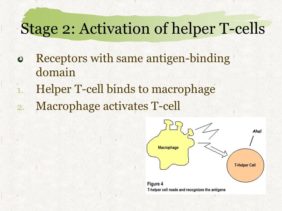 Stage 2: Activation of helper T-cells Receptors with same antigen-binding domain 1.