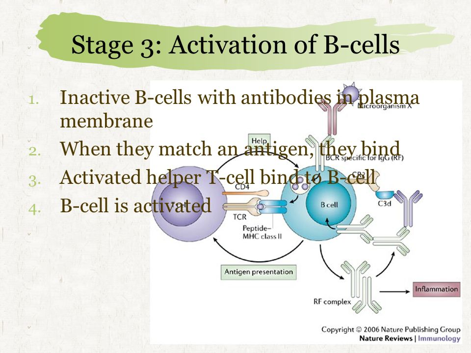 Stage 3: Activation of B-cells 1.Inactive B-cells with antibodies in plasma membrane 2.