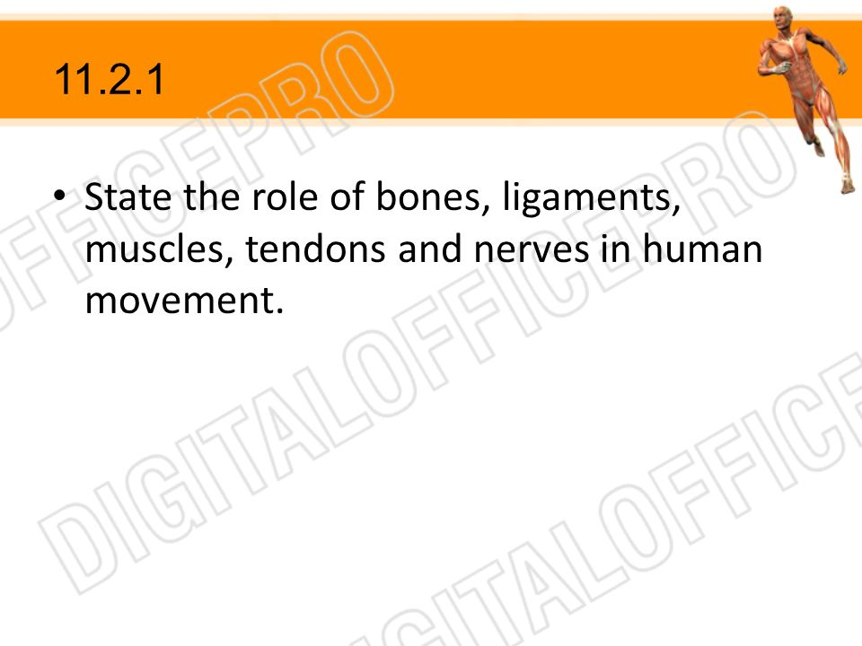 11.2.1 State the role of bones, ligaments, muscles, tendons and nerves in human movement.