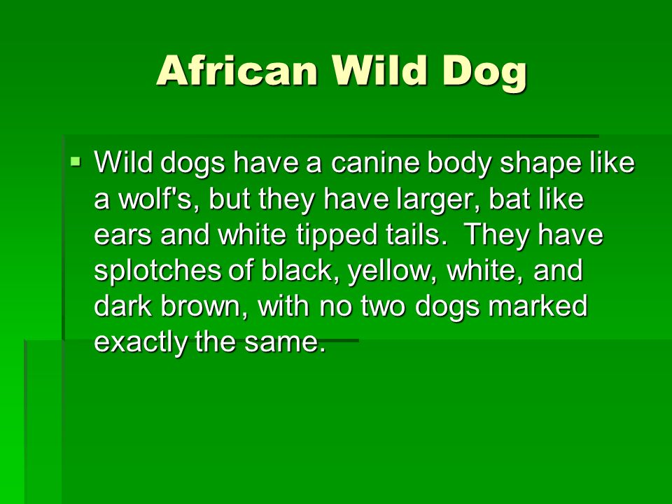 African Wild Dog Wild dogs have a canine body shape like a wolf's, but they have larger, bat like ears and white tipped tails. They have splotches of
