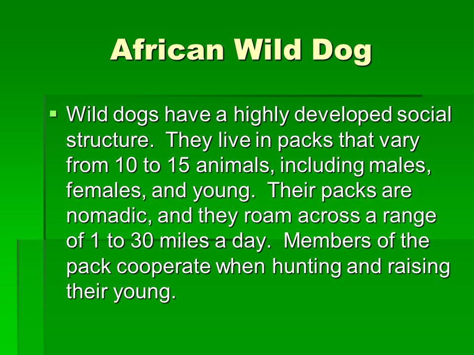 African Wild Dog Wild dogs have a highly developed social structure. They live in packs that vary from 10 to 15 animals, including males, females, and