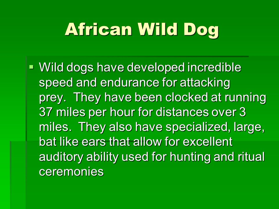 African Wild Dog Wild dogs have developed incredible speed and endurance for attacking prey. They have been clocked at running 37 miles per hour for d