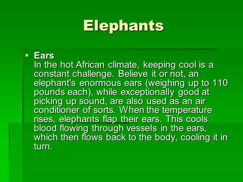Elephants Ears In the hot African climate, keeping cool is a constant challenge. Believe it or not, an elephant's enormous ears (weighing up to 110 po