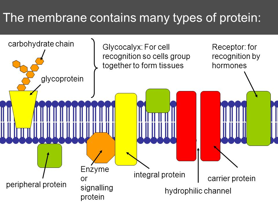 The membrane contains many types of protein: glycoprotein carbohydrate chain integral protein peripheral protein carrier protein Glycocalyx: For cell