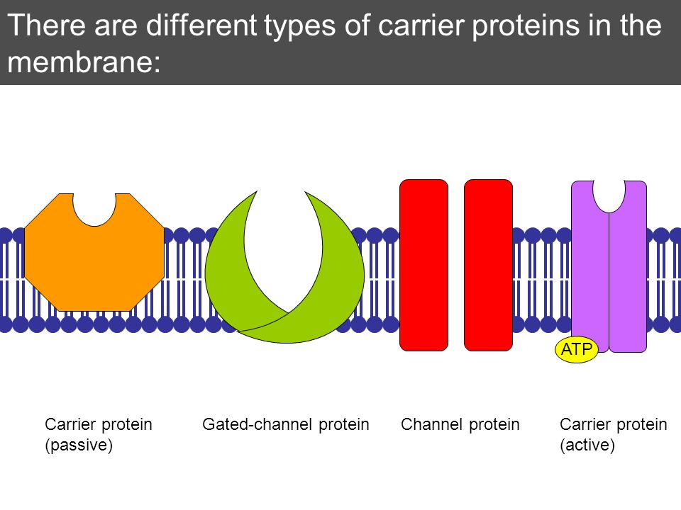 There are different types of carrier proteins in the membrane: ATP Channel proteinGated-channel proteinCarrier protein (passive) Carrier protein (acti