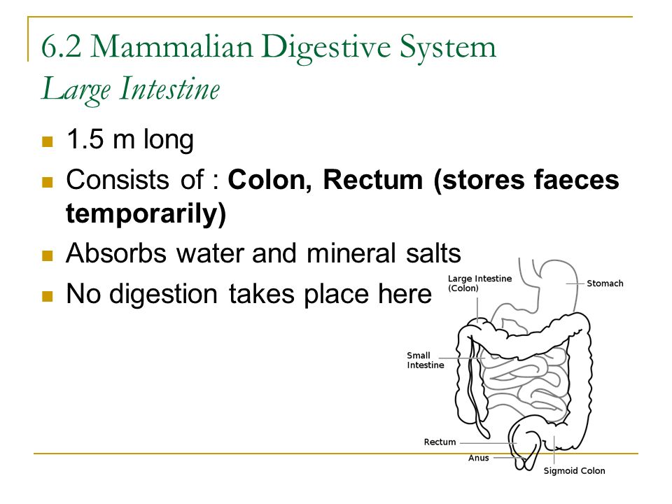 6.2 Mammalian Digestive System Large Intestine 1.5 m long Consists of : Colon, Rectum (stores faeces temporarily) Absorbs water and mineral salts No d