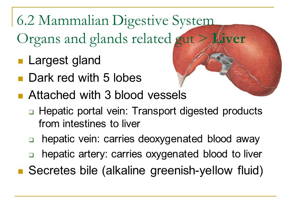 6.2 Mammalian Digestive System Organs and glands related gut > Liver Largest gland Dark red with 5 lobes Attached with 3 blood vessels Hepatic portal