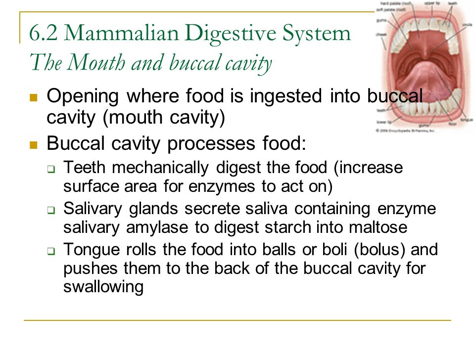 6.2 Mammalian Digestive System The Mouth and buccal cavity Opening where food is ingested into buccal cavity (mouth cavity) Buccal cavity processes fo