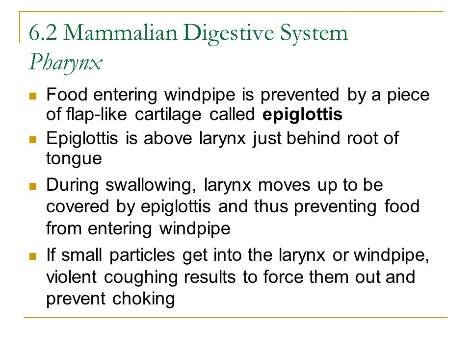 6.2 Mammalian Digestive System Pharynx Food entering windpipe is prevented by a piece of flap-like cartilage called epiglottis Epiglottis is above lar