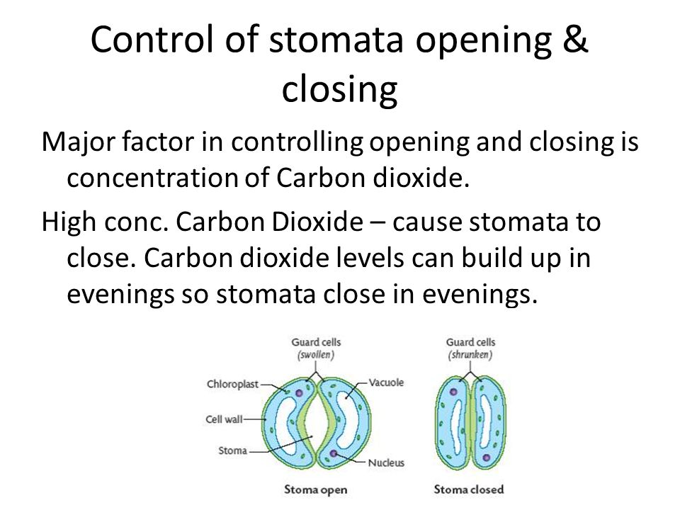 Control of stomata opening & closing Major factor in controlling opening and closing is concentration of Carbon dioxide. High conc. Carbon Dioxide – c