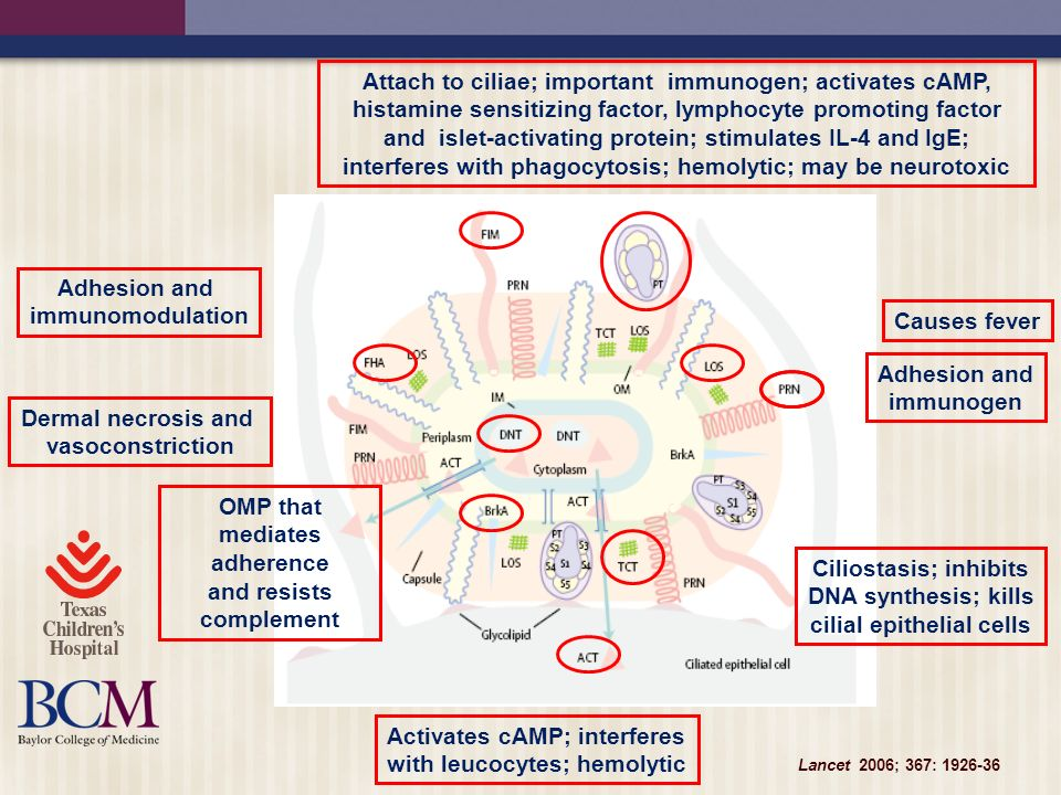 Lancet 2006; 367: 1926-36 Attach to ciliae; important immunogen; activates cAMP, histamine sensitizing factor, lymphocyte promoting factor and islet-a
