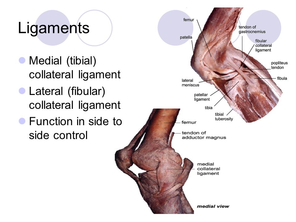 Ligaments Medial (tibial) collateral ligament Lateral (fibular) collateral ligament Function in side to side control