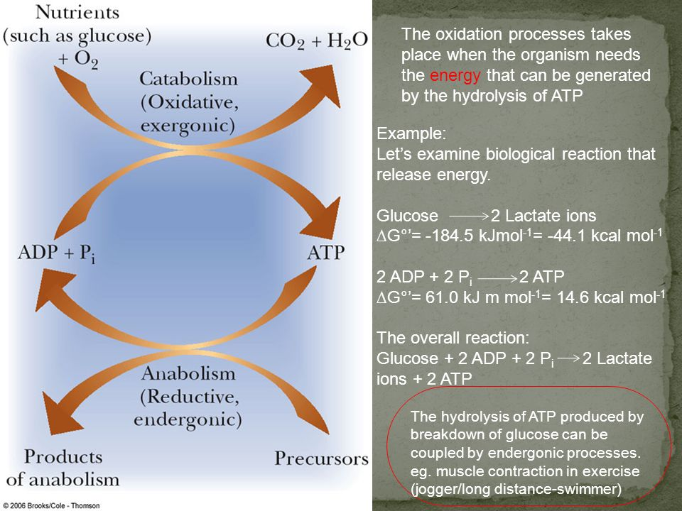 Fig. 15-9, p.426 The oxidation processes takes place when the organism needs the energy that can be generated by the hydrolysis of ATP Example: Lets e