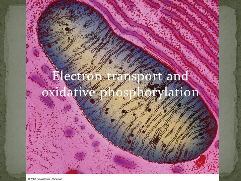 Electron transport and oxidative phosphorylation