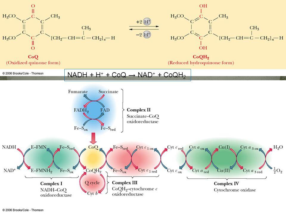 Fig. 20-5, p.546 NADH + H + + CoQ NAD + + CoQH 2