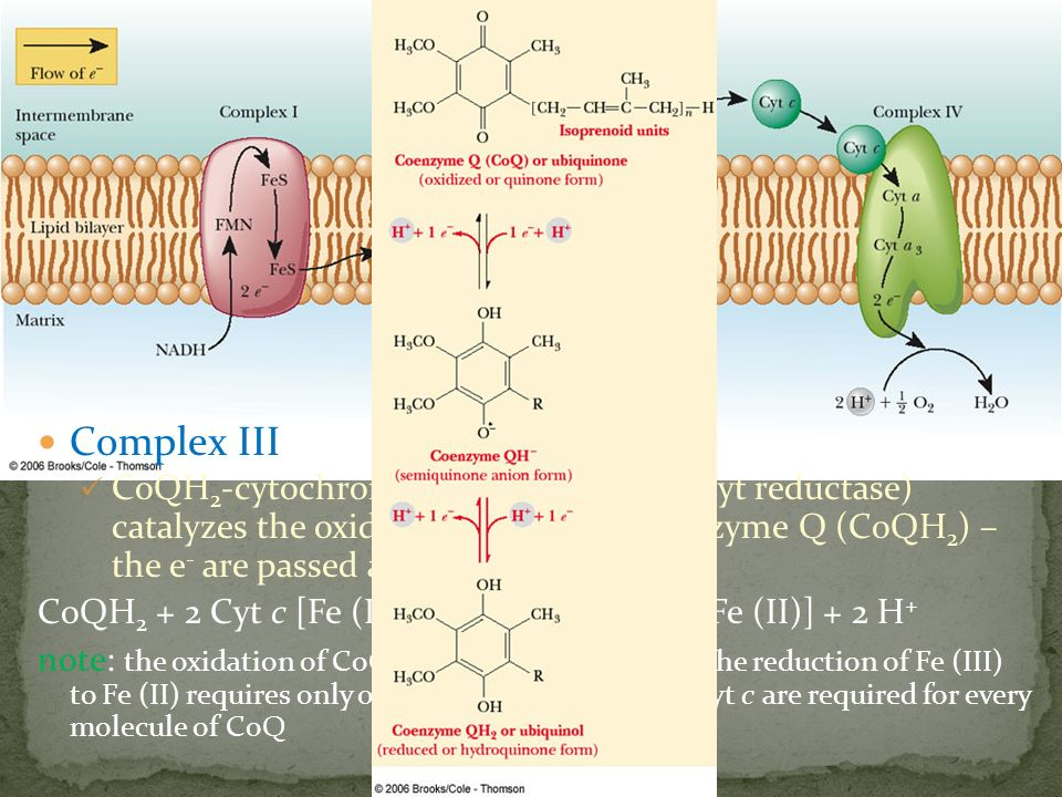 Complex III CoQH 2 -cytochrome c oxidoreductase (cyt reductase) catalyzes the oxidation of reduced coenzyme Q (CoQH 2 ) – the e - are passed along to
