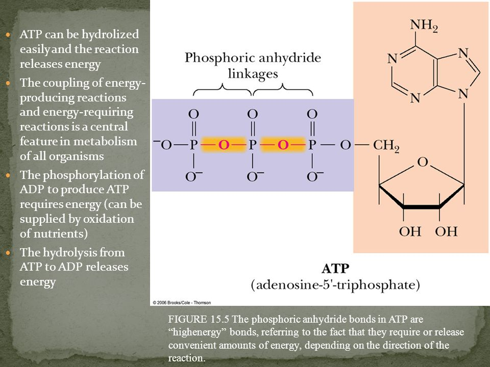 ATP can be hydrolized easily and the reaction releases energy The coupling of energy- producing reactions and energy-requiring reactions is a central